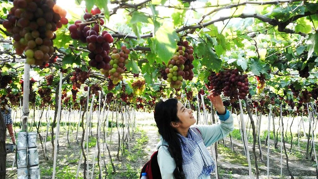 Ninh Thuận – Cuộc sống đầy ý nghĩa bên những khu vườn nho trĩu quả